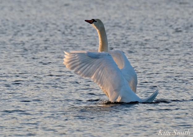 Mute Swan Niles Pond copyright Kim Smith - 15jpg