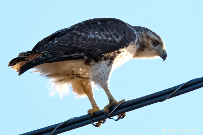 Red-tailed Hawk Massachusetts copyright Kim Smith - 01