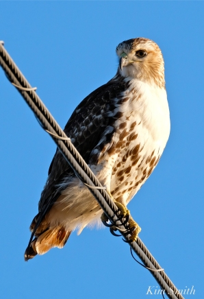 Red-tailed Hawk Massachusetts copyright Kim Smith - 04