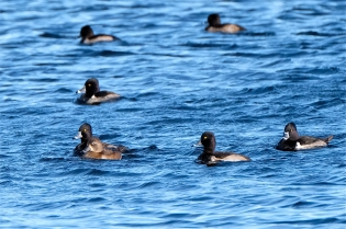 Ring-necked Ducks Niles Pond copyright Kim Smith - 25