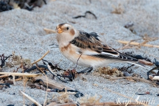 Snow Bunting Gloucester Massachusetts copyright Kim Smith - 1