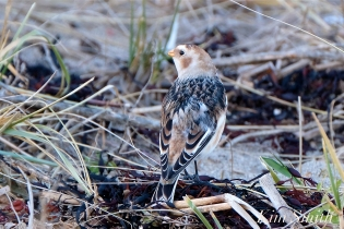 Snow Bunting Gloucester Massachusetts copyright Kim Smith - 4