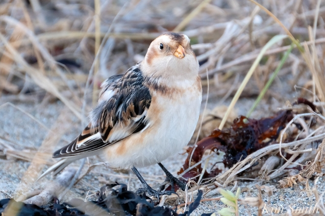 Snow Bunting Gloucester Massachusetts copyright Kim Smith - 5