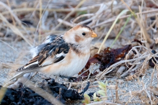 Snow Bunting Gloucester Massachusetts copyright Kim Smith - 6