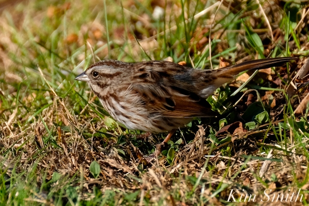 Song Sparrow Massachusetts Gloucester copyright Kim Smith - 09