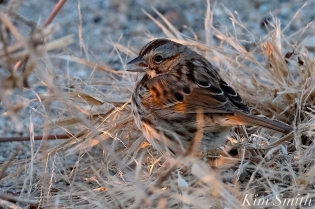 Song Sparrow Massachusetts Gloucester copyright Kim Smith - 10
