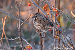 Song Sparrow Massachusetts Gloucester copyright Kim Smith - 12