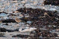 American Pipit 8-Gloucester Massachusetts copyright Kim Smith