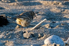 American Pipit Winter Wildlife Gloucester Massachusetts copyright Kim Smith - 09
