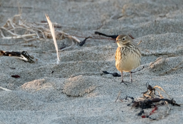 American Pipit Winter Wildlife Gloucester Massachusetts copyright Kim Smith - 14