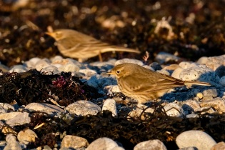American Pipit Winter Wildlife Gloucester Massachusetts copyright Kim Smith - 19
