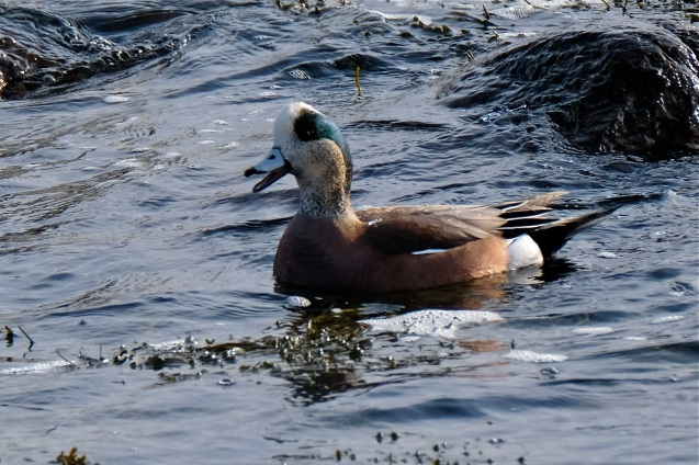American Wigeon Winter Wildlife Gloucester Massachusetts copyright Kim Smith - 28