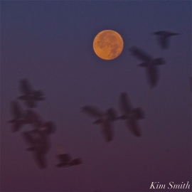Moonset Full Moon Frost Moon Beaver Moon copyright Kim Smith