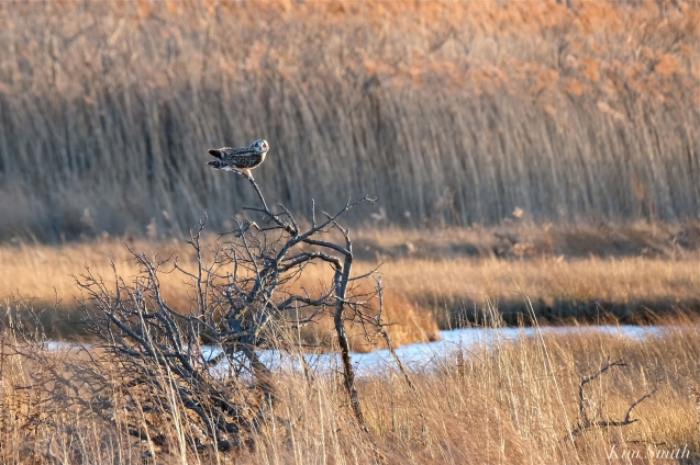 Short-eared Owl Parker River copyright Kim Smith - 05