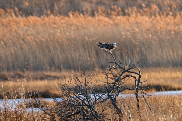 Short-eared Owl Parker River copyright Kim Smith - 06