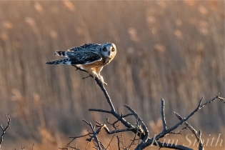 Short-eared Owl Parker River copyright Kim Smith - 09
