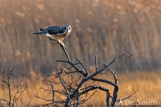 Short-eared Owl Parker River copyright Kim Smith - 10