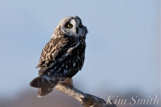 Short-eared Owl Parker River Plum Island copyright Kim Smith - 15