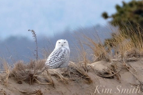 Snowy Owl Parker River Massachusetts copyright Kim Smith - 03