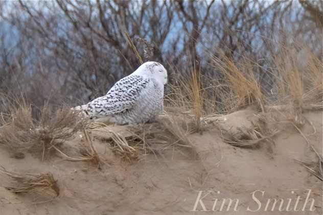 Snowy Owl Parker River Massachusetts copyright Kim Smith - 07