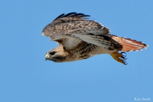 Red-tailed Hawk in Flight copyright Kim Smith - 5 of 9