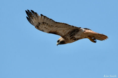 Red-tailed Hawk in Flight copyright Kim Smith - 8 of 9