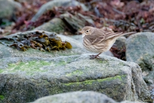 American Pipit copyright Kim Smith - 6 of 25