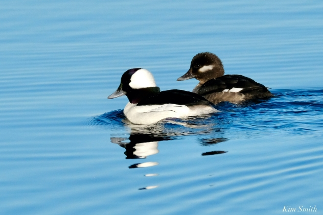 Bufflehead Male and Female copyright Kim Smith - 16 of 25