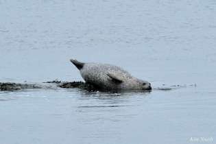 Harbor Seal copyright Kim Smith - 9 of 25
