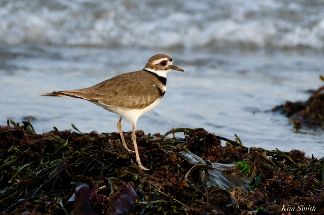Kildeer Cape Ann Wildlife copyright Kim Smith - 21 of 27