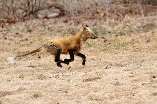 Red Fox Vulpes vulpes copyright Kim Smith - 14 of 18
