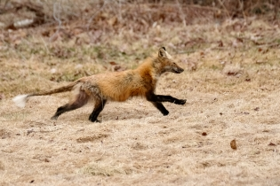 Red Fox Vulpes vulpes copyright Kim Smith - 15 of 18