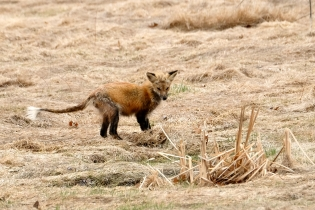 Red Fox Vulpes vulpes copyright Kim Smith - 3 of 18