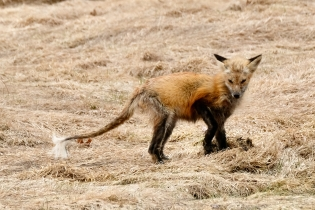 Red Fox Vulpes vulpes copyright Kim Smith - 4 of 18