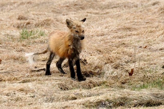 Red Fox Vulpes vulpes copyright Kim Smith - 5 of 18