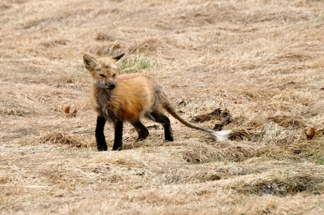 Red Fox Vulpes vulpes copyright Kim Smith - 7 of 18