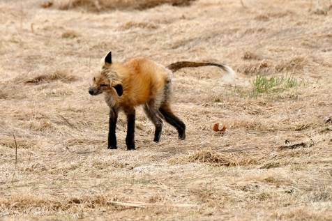 Red Fox Vulpes vulpes copyright Kim Smith - 8 of 18