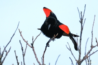 Red-winged Backbird copyright Kim Smith - 20 of 25