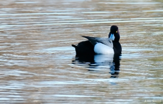 Scaup Male copyright Kim Smith - 17 of 25