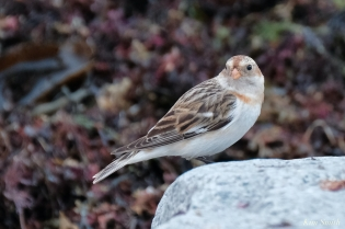 Snow Bunting copyright Kim Smith - 23 of 25