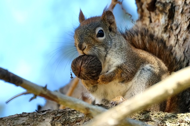 American Red Squirrel - 2 of 7