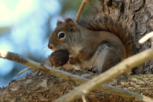 American Red Squirrel - 3 of 7