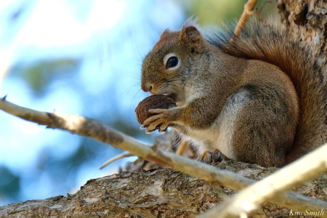 American Red Squirrel - 4 of 7