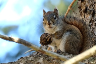 American Red Squirrel - 5 of 7