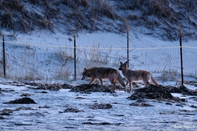 Eastern Coyotes Good Harbor Beach copyright Kim Smith - 1 of 8