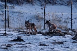 Eastern Coyotes Good Harbor Beach copyright Kim Smith - 2 of 8