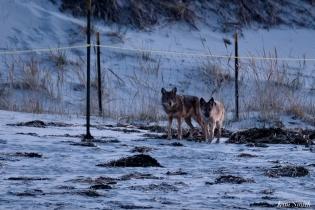 Eastern Coyotes Good Harbor Beach copyright Kim Smith - 3 of 8