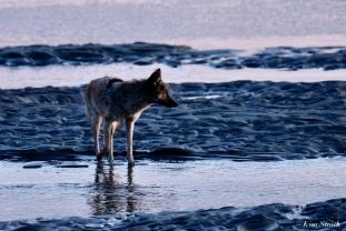 Eastern Coyotes Good Harbor Beach copyright Kim Smith - 4 of 8