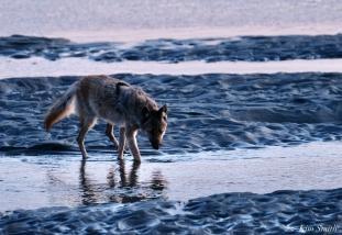 Eastern Coyotes Good Harbor Beach copyright Kim Smith - 5 of 8