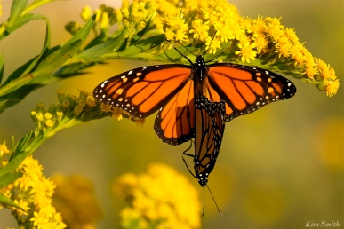 monarch-butterflies-mating-september-seaside-goldenrod-copyright-kim-smith-3-jpg